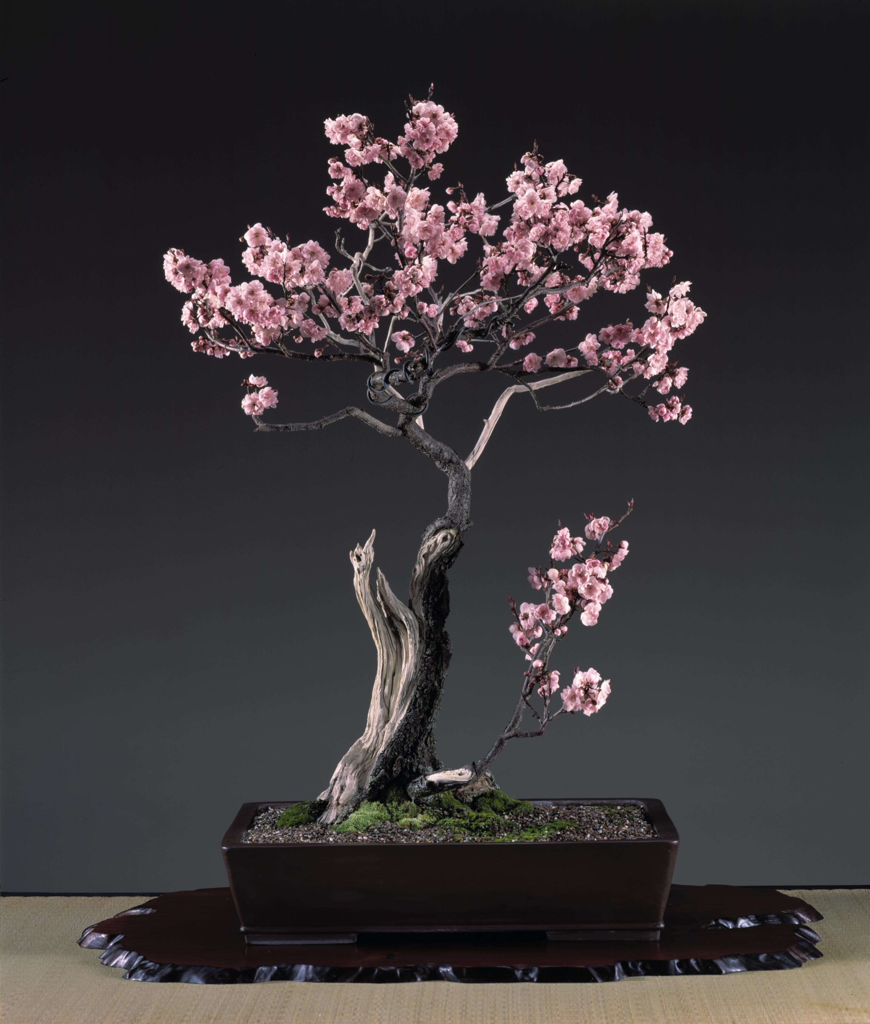 20 Photo Bonsai Yang Cantik Dan Unik Petani TOP