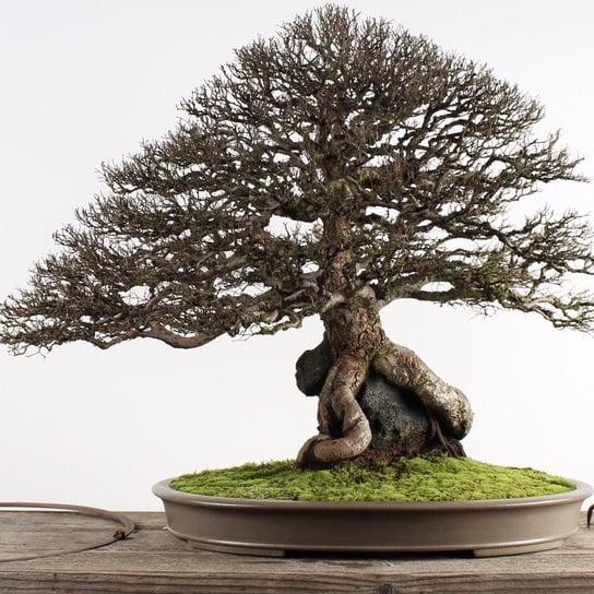 Buy Bonsai Tree Bellevue Bonsai Tree